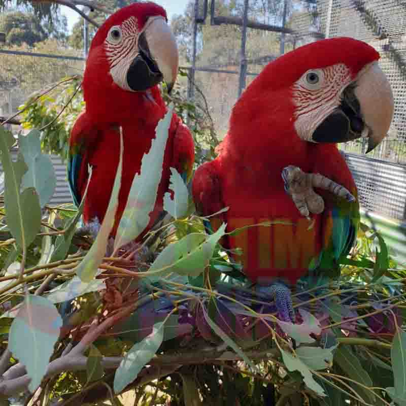 Green-Winged Macaw Parrots